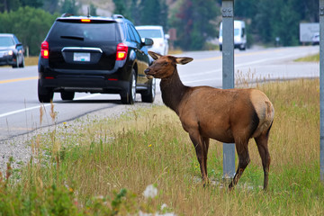 A female elk grazing extremely close to a busy highway