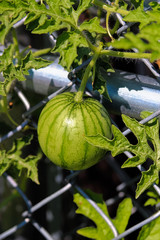 View of a watermelon growing vertical on a chain link fence