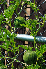 Two young watermelons growing upright on a trellis