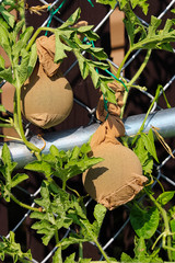 Immature watermelons being supported on a fence in stockings
