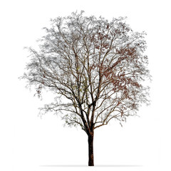 Leafless tree photo isolated on white background