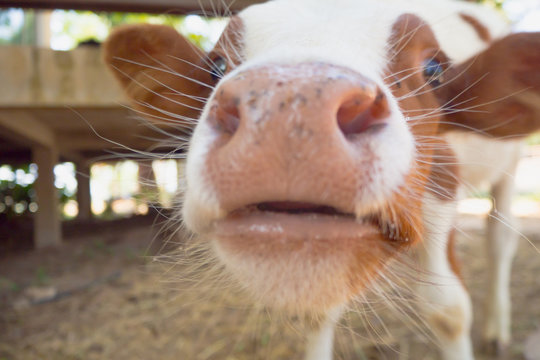 brown cow and closeup