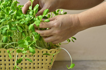 Woman hand growing green sunflower sprout in basket at home