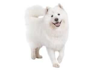 Purebred Samoyed dog, isolated on white