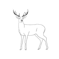 Hand drawn deer isolated on white background. Vector
