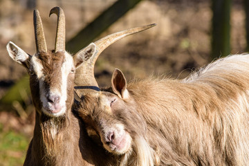 funny cozy sweet lovely tender goats, one leaning on the other, color outdoor wildlife animal portrait of couple, symbolic figurative joint together pair rely on love tenderness trust support Wall mural