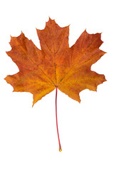 fallen dry maple leaf on white background