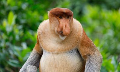Portrait of Wild Proboscis Monkey in Sabah Malaysia