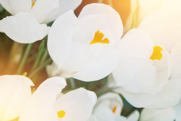 Close-up macro beautiful white lush vibrant white crocuses, spring flowers on soft focus blurred toned white green floral background. Gentle spring romantic artistic postcard image desktop wallpaper.