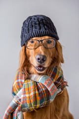 Cute golden retriever wearing a scarf