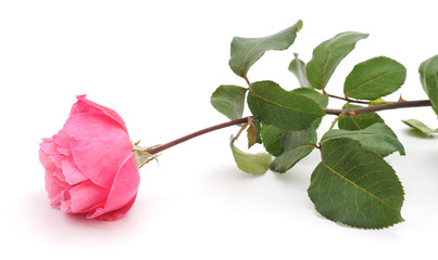 Pink rose and leaves.