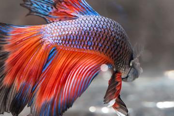 closeup background animal  aquarium red and blue fighting betta fish