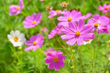 Pink Cosmos Flowers Blooming in a Garden