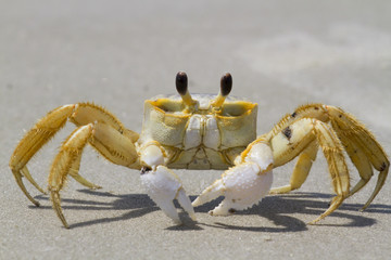 Atlantic ghost crab (Ocypode quadrata) at the ocean beach, South Carolina, USA.