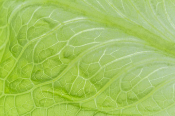 Fresh Lettuce one leaf close-up