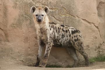 Photo sur Plexiglas Hyène Spotted hyena (Crocuta crocuta)