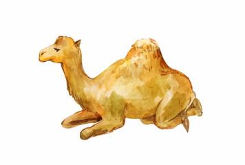 Lying one-humpy camel