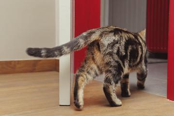 chat tigré tabby brun de dos passant une porte