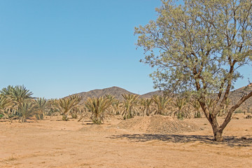 green palm trees growing in desert