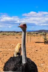 Ostrich in Cape Town