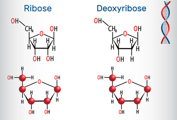 Ribose and deoxyribose molecules, they are monosaccharides and form part of the backbone of DNA and RNA