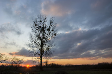 Tall tree and clouds at sunset