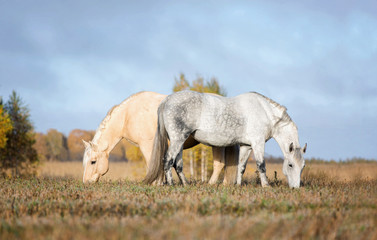 Two horses grazing grass on a pasture