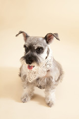 Miniature Schnauzer sit on yellow background