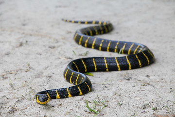 Mangrove snake creeping on white sand