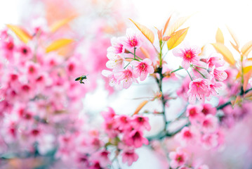 Pink Cherry blossom , Sakura flower blooming
