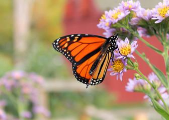 Monarch butterfly on purple flower closeup