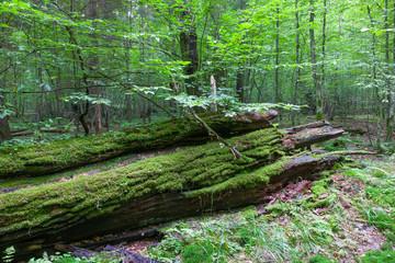 Moss wrapped oak lying