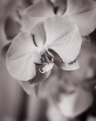 Flower Orchid black and white