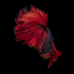 Acrylic Prints Fish Red dargon