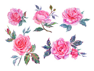 Pink roses, watercolor painting on a white background. Flower set, hand-drawn, isolated with clipping path.