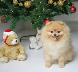 Lovely Pomeranian Spitz in a red sweater. The dog is a symbol of 2018.