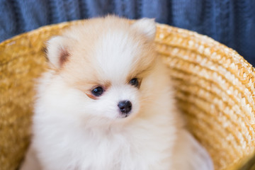 Cute fluffy white pomeranian Spitz puppy sitting in basket on gray knitted background