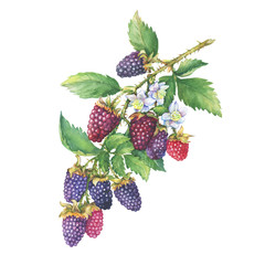 Branch of ripe boysenberry (Tayberry, hybrid between raspberry and blackberry) with berries, flowers and leaves. Watercolor hand drawn painting illustration isolated on white background