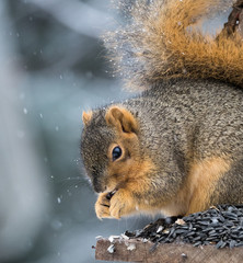 Squirrel Eating Sunflower Seeds while sitting on a wooden perch during a snow storm. Shallow depth of field.