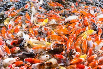 Koi fish, Fancy Carps Fish in Pond.Motion blur pictues.
