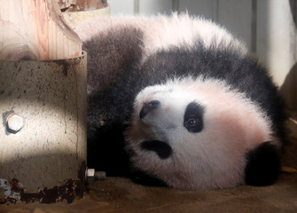 A baby panda Xiang Xiang is seen during press preview ahead of the public debut at Ueno Zoological Gardens in Tokyo