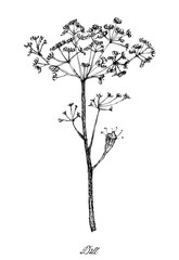 Hand Drawn of Dill Plants on White Background