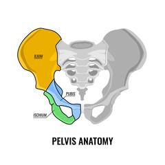 Pelvis Anatomy Scheme