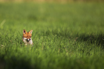 Fox in a clearing in the wild