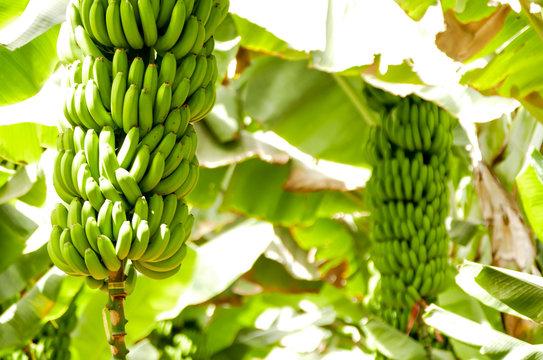 Banana plantation Tenerife, Canary Islands
