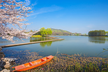 Cherry Blossom of Turtle Head Islet in Taihu Lake,Wuxi City,Jiangsu Province,China