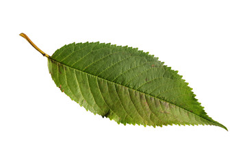 One green isolated leaf from ecology herbal tree texture plant