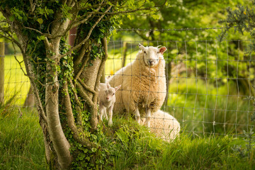 Lamb and sheep divided by a fence, seen near Clynderwen, Pembrokeshire, Dyfed, Wales, UK