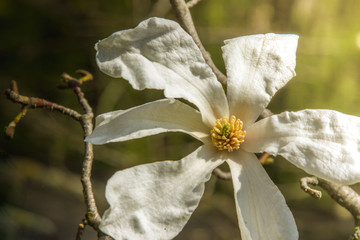 Flower white Magnolia flowering. Background of flowers. Spring