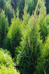 Coniferous trees for landscape design.